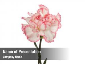 Flower pink carnation white