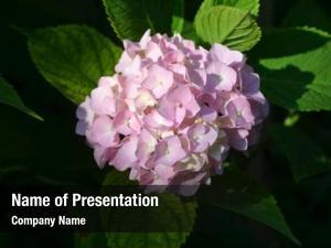 Hydrangea blooming flowers