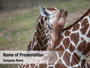 (giraffa reticulated giraffe camelopardalis reticulata),