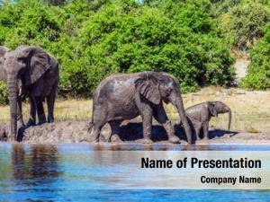 Elephants herd african crossing river