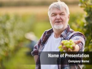 Vine winegrower looks white grapes