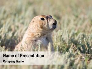 Looking prairie dog out its