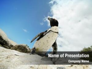 Boulders beach boulders african penguins