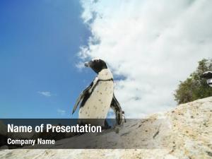 African penguins african penguins at boulders