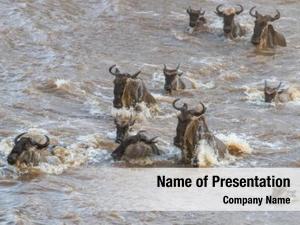 Mara wildebeest crossing river during