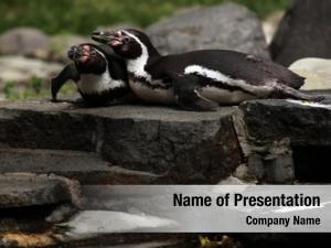 (spheniscus humboldt penguins humboldti), also