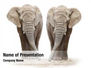 (loxodonta african elephants africana) white