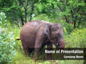 Eating indian elephant grass jungle