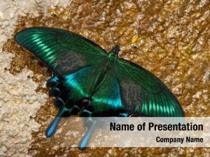 Butterfly papilio maackii swallowtail butterfly
