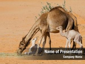 Calves camels young desert sand