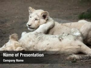 White two newborn lion cubs