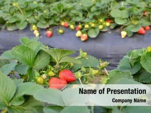 Strawberry cultivation powerpoint template