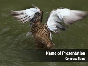(platyrhynchos), wild duck also known