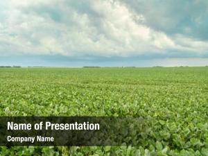 Soybean field green plants storm