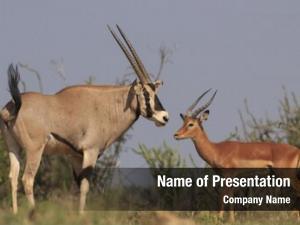 Impala oryx (gemsbok)