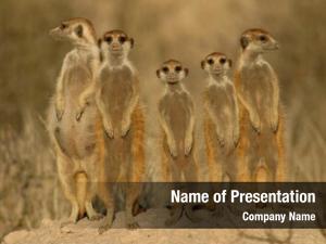 (suricata suricate meerkat suricatta) family,