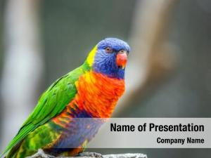 Small, lori parrot brightly colored