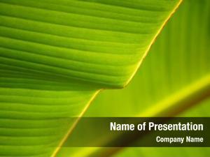 Background banana leaf