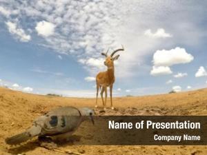 Dove emerald spotted wood impala antelope
