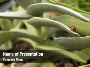 Succulent ladybug climbing plant