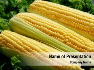 Green above closeup maize ears