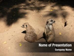 Zoo meerkat family