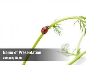 Chamomile close ladybug plant