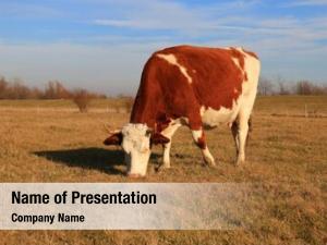 Field cows farm