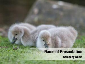 Swan baby bird green grass