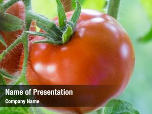 Growing ripe tomatoes branches, cultivated