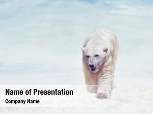 Bear large polar walking snow