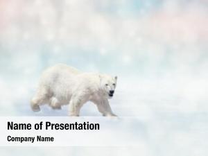Walking polar bear snow