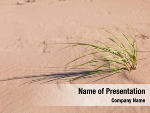 Beach marram grass grass that