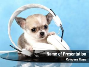 Music puppy chihuahua lover