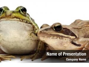 Frog common european edible frog,