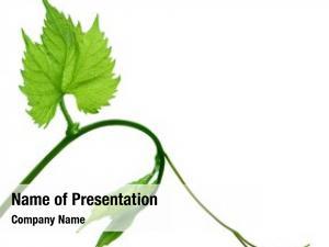 Vine green leaf white