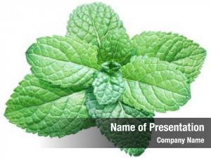 Leaf perfect spearmint mint leaf