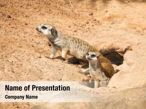 Mungos, family meerkat, going out