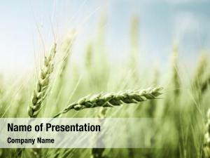 Field green wheat sunny day