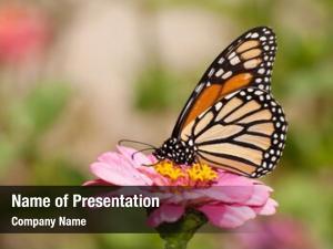 Black beautiful orange monarch butterfly