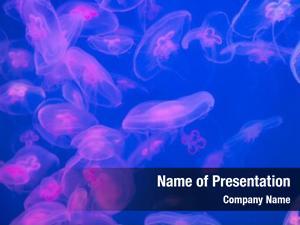 Aurelia moon jellyfish aurita water