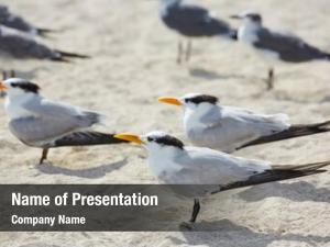 Terns royal caspian sea birds