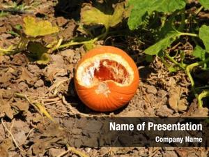 Field pumpkin growing shows signs