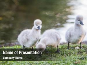 Swan baby bird natural