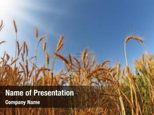 Wheat field ripe sunset
