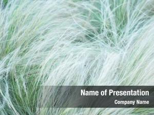 Wildflower soft feather grass