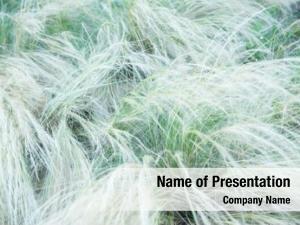 Needle grass soft feather grass
