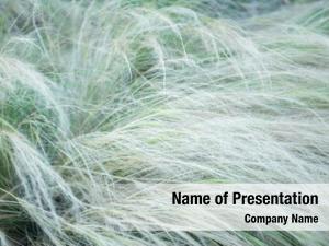 Soft feather grass focus