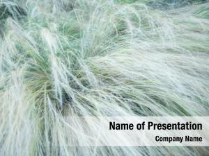 Soft feather grass