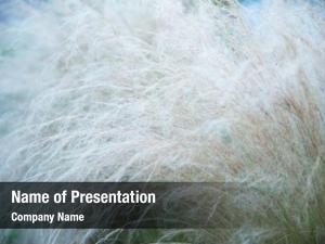 Feather grass soft